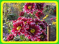 Хризантема ранняя сорт Оринокко ( укорененные черенки)