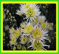 Хризантема ранняя сорт Делиана белая ( укорененные черенки)