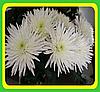 Хризантема сорт Анастасия белая (укорененные черенки)