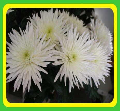 Хризантема сорт Анастасия белая (укорененные черенки), фото 2