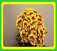 Хризантема ранняя сорт Флорис ( укорененные черенки)