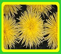 Хризантема сорт Анастасия желтая ( укорененные черенки)