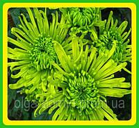 Хризантема ранняя сорт Анастасия зеленая ( укорененные черенки)