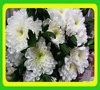 Хризантема ранняя сорт Зембла белая ( укорененные черенки)