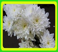 Черенки ранней хризантемы укорененные. Бонита белая