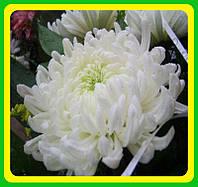 Хризантема ранняя сорт Бланка ( укорененные черенки)