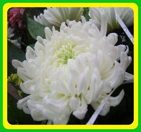 Хризантема ранняя сорт Бланка ( укорененные черенки), фото 2