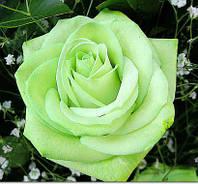 Роза чайно-гибридная СУПЕРГРИН саженец