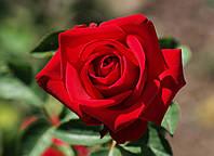 Троянда червона чайно-гібридна Solo Red