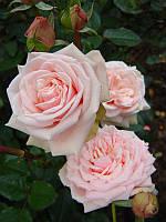 Троянда рожева чайно-гібридна Solo Pink