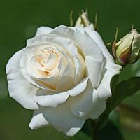 Троянда біла чайно-гібридна Avalange (Аваланж)