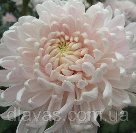 Хризантема велика МІЛКА біла