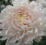 Хризантема велика МІЛКА БІЛА, фото 3