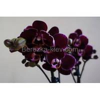 Орхидея Каода 2 ветки (Кaoda)