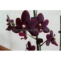 Орхидея 2 ветки (Peoker-Black-Bird)