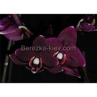 Орхидея 2 ветки (black-jack)