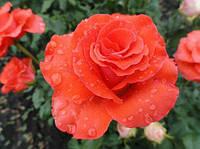 "Роза чайно-гибридная КОРВЕТ "" CORVETTE"" вегетирующий саженец"