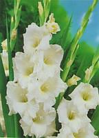 Гладиолус Bangladesh (Бангладеш) луковицы 10/12 оптом 15 шт./уп.