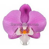 Орхидея 2 ветки (Los-Angeles)