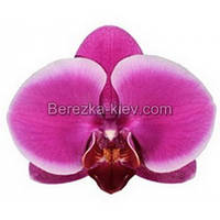 Орхидея 2 ветки (Pretoria)
