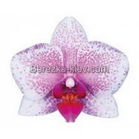 Орхидея 2 ветки (Rotterdam)