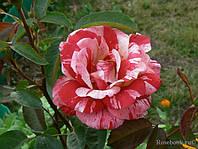 Троянда червоно біла чайно-гібридна Papageno (Папагено)
