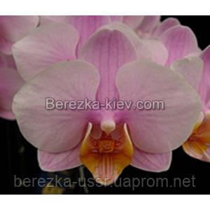 Орхидея 2 ветки (Younghome-Sakura)