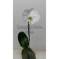 Орхидея 1 ветка (Синголо) Белый