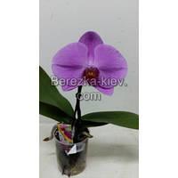 Орхидея 1 ветка (Синголо) Фиолетовый