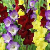 Крупноцветковые гладиолусы луковицы оптом