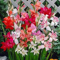 Низкорослые и мелкоцветковые гладиолусы (нанус, бамбино)