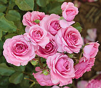Троянда рожева поліантова Avenue Pink