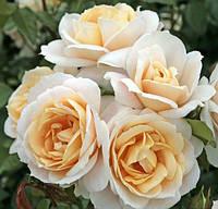 Троянда кремово рожева поліантова Avenue Lions