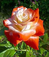 """Роза чайно-гибридная ИМПЕРАТРИЦА """"IMPERATRICE"""" вегетирующий саженец"""