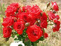 Троянда червона поліантова Avenue Red