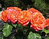 Роза Емильен Гийо. (с). Чайно-гибридная роза.