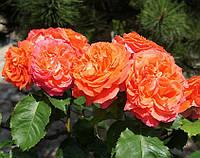 Роза Емильен Гийо. (с). Чайно-гибридная роза. , фото 1