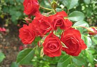 Троянда Scarlet Meillandecor (Скарлет Мейландекор)