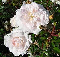 Троянда Sea Foam (Сіафом)