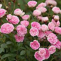 Троянда The Fairy (Зе Фейрі)