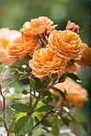 Троянда Aprikot Clementine (Апрікот Клементін)