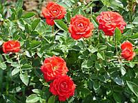 Троянда мініатюрна Red Det (Ред Дет)