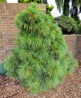 Сосна веймутова  Шверина Витхорст (Pinus schwerinii Wiethorst) в 3х л контейнере высота  30см