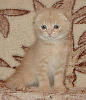 Британские и Шотландские вислоухие котята