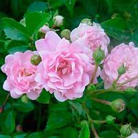 Ваш cад Роза Фэйри почвопокровная