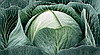 Семена капусты б/к Калорама F1 2500 семян Rijk Zwaan