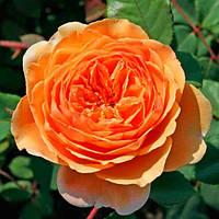 Ваш cад Роза английская Excalibur (Екскалибур)