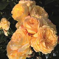 Роза флорибунда Лампион