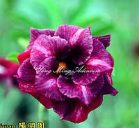 Адениум семена Rose love