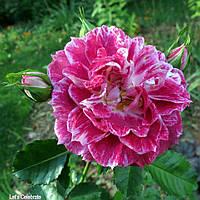 Роза флорибунда Летс Селебрейт